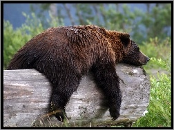 niedzwiedz-sen-grizzly